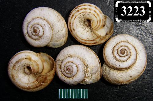 Xeropicta derbentina. Фотография 22