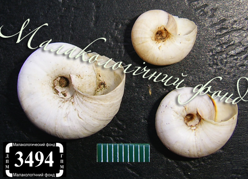 Xeropicta derbentina. Фотография 25