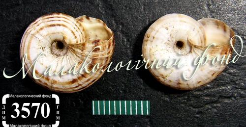 Xeropicta derbentina. Фотография 27