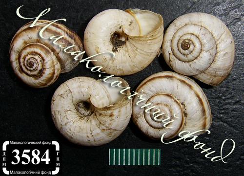 Xeropicta derbentina. Фотография 30