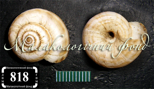 Xeropicta derbentina. Фотография 12