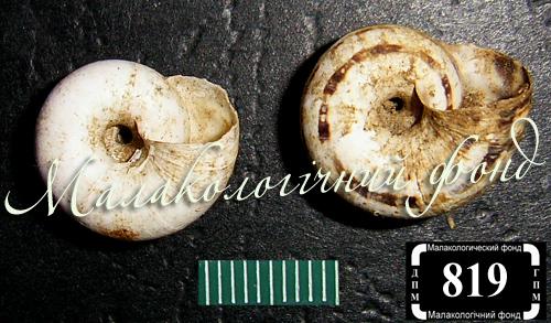 Xeropicta derbentina. Фотография 13