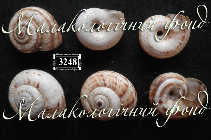 Xeropicta derbentina. Фотография 10