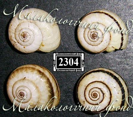 Xeropicta krynickii. Фотография 9