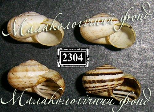 Xeropicta krynickii. Фотография 11