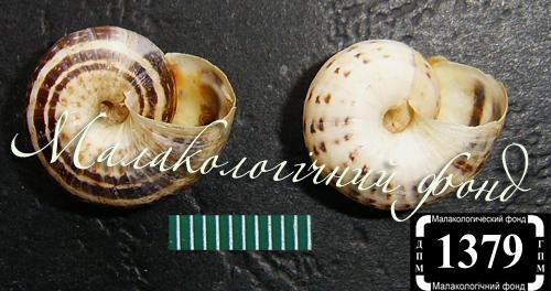 Xeropicta krynickii. Фотография 13