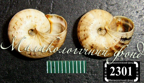 Xeropicta krynickii. Фотография 21