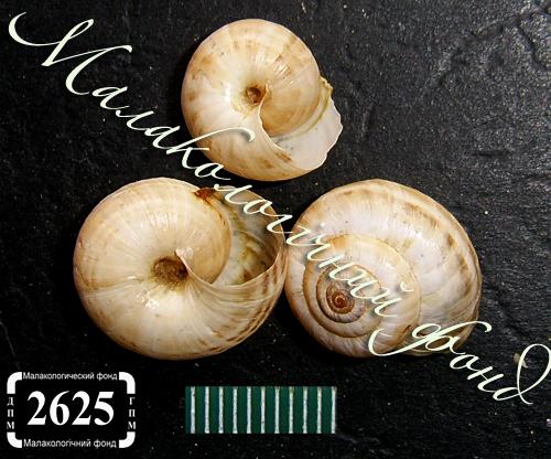 Xeropicta krynickii. Фотография 27