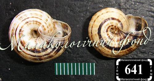 Xeropicta krynickii. Фотография 6