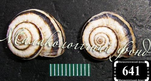 Xeropicta krynickii. Фотография 7