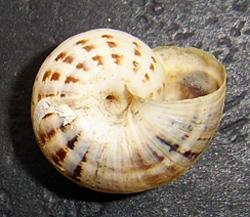 X. krynickii. Фотография 9