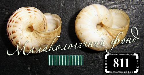 Xeropicta krynickii. Фотография 10