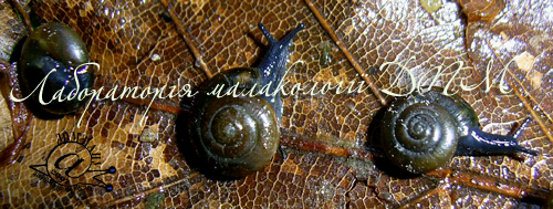 Zonitoides nitidus. Фотография 5