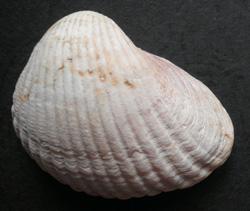 Моллюск апреля среди морских моллюсков - Cerastoderma lamarcki lamarcki (Reeve, 1844) (2018 г.)