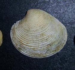 C. gallina. Фотография 32