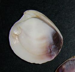 C. gallina. Фотография 28