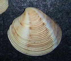 Моллюск июня среди морских моллюсков - Chamelea gallina (2015 г.)