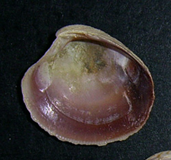 C. gallina. Фотография 36