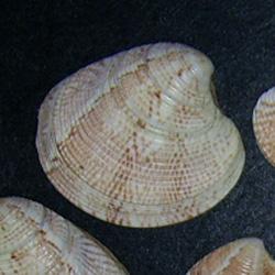 C. gallina. Фотография 38