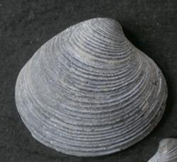 Моллюск августа среди морских моллюсков - Chamelea gallina (2013 р.)