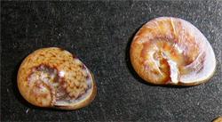 Моллюск июля среди морских моллюсков - Cyclope donovani Risso, 1826 (2019 г.)