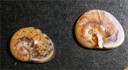 C. donovani