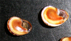 C. donovani. Фотография 20