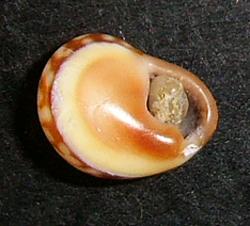 C. donovani. Фотография 24
