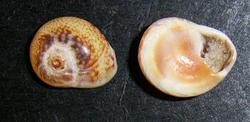 Моллюск августа среди морских моллюсков - Cyclope neritea (2014 р.)