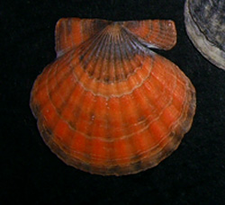 Flexopecten ponticus (Bucquoy et al., 1889)