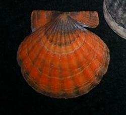 F. ponticus. Фотография 18