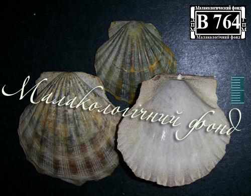 Flexopecten ponticus. Фотография 23