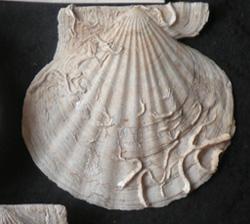 F. ponticus. Фотография 14