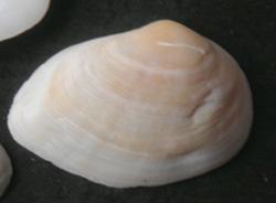 G. fragilis. Фотография 4