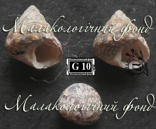 Gibbula adriatica. Фотография 3