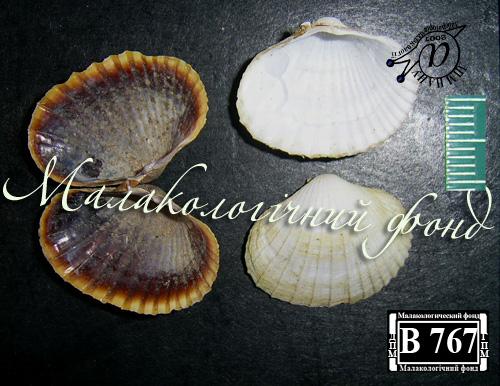 Hypanis colorata. Фотография 19