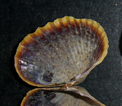 H. colorata. Фотография 20