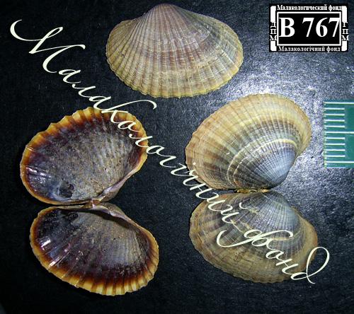 Hypanis colorata. Фотография 21
