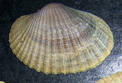 Hypanis colorata