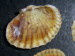 H. colorata. Фотография 24