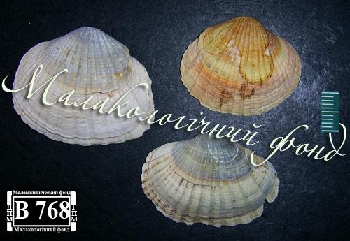 Hypanis colorata. Фотография 27