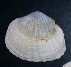 Молюск березня серед морських молюсків - Hypanis colorata (2016 р.)