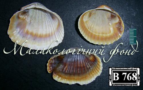 Hypanis colorata. Фотография 29