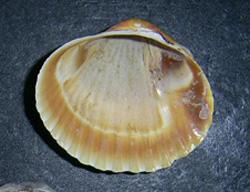 H. colorata. Фотография 30