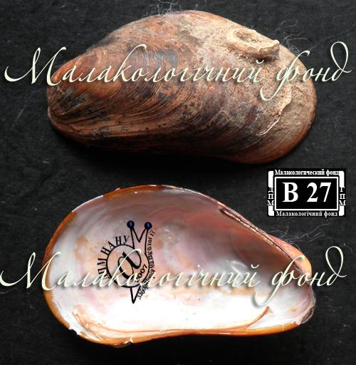Modiolus adriaticus. Фотография 7