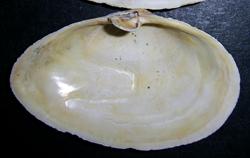M. arenaria. Фотография 32