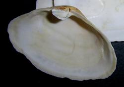 M. arenaria. Фотография 22