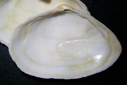 M. arenaria. Фотография 24