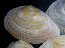 Молюск жовтня серед морських молюсків - Mya arenaria Linnaeus, 1758 (2018 р.)