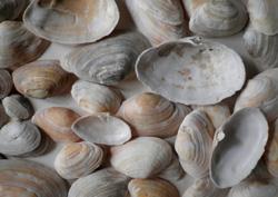 Моллюск марта среди морских моллюсков - Mya arenaria (2013 р.)